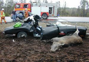 Viltolyckorna skördar många offer på länets vägar.