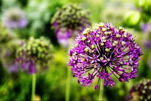 Kirgislöken tillhör släktet Allium och har blommor som blir drygt en decimeter stora.