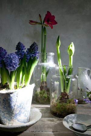 En vas ger stöd åt stjälken när blomman slår ut.