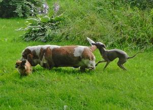 Italienska vinthundsvalpen Stella är väldigt busig. Tur att de gamla damerna i hennes sällskap är så tålmodiga. Särskilt Anita som här blir biten i svansen!