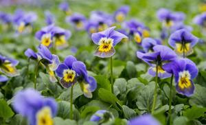 Penséer är vårens budbärare.