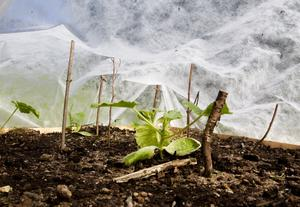 Under täcket. Zucchinin trivs med att växa till sig under fiberduk.