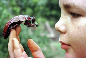 Hjärnan hos en kackerlacka fungerar i hög grad på samma sätt som hjärnan hos en människa. Arten som pojken på bilden vänslas med är jättekackerlackan Macropanesthia rhinoceros från Australien. Foto: Brian Cassey/AP/TT