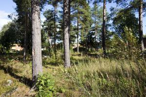 Det var i den här skogsdungen i Andersberg som en 32-årig kvinna våldtogs för en dryg månad sedan.