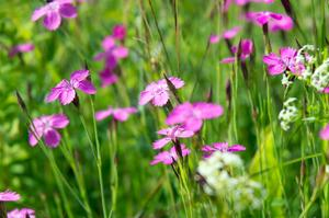 Backnejlikorna blommar! Inget slår ängen, enligt Greider. Och den ska slås med lie när växterna gått i frö, för Göran brukar det bli först i september.