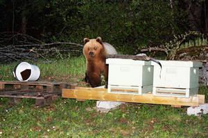 Björnen lockades till bikuporna i Bönan.