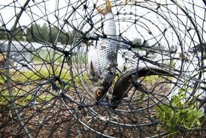 Välagnat. Rå fisk ska få kräftorna att krypa in i burarna. När skymningen faller kommer förhoppningsvis kräftorna upp på land. Foto:Stina Rapp