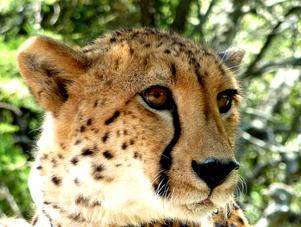 GEPARD, det snabbaste djuret jag sett, så graciöst och med fantastiskateckningar i ansiktet. Att få ögonkontakt är en riktig lyckostund !!