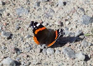 En Amiralfjäril som lapar mineraler från grusvägen.