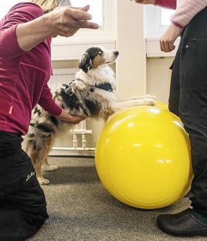 Hundarna ska använda sina stabiliserande muskler och ha luft mellan bröstkorgen och bollen när de gör plankan.