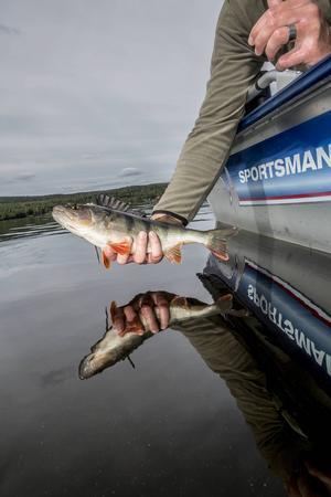 Det är viktigt att sätta tillbaka all fisk som man inte ska äta direkt. Det är lätt att förstöra ett bra bestånd. Tänk på att en enkilos abborre är 15 år gammal!