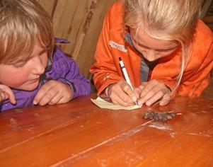 Vems spillning. Hanna Törnström och Amanda Olsson har noga studerat spillningen på bordet. Men fråga är om det verkligen är från ett rådjur, eller kanske kanin.