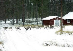 Vinterbete med renar på privata marker i Härjedalen har under åren varit konfliktfylld och frågan ställdes på sin spets 1990. (arkivbild)