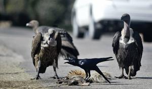 Asätande fåglar är extremt effektiva på att rensa undan kadaver i naturen. På bilden en djungelkråka tillsammans med tre vitryggade gamar i norra Indien. Foto: Channi Anand/AP/TT