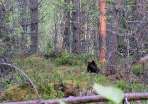 På cirka tio meters håll kunde Hanse Hansson observera att den lilla björnungen var i ett mycket dåligt tillstånd.