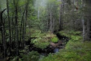 Roger Karlsson visar fotografi i Wij. Här Lingboskogen.