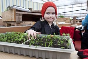 Tomatodlare. Anita Sjölund och de andra eleverna från Gefle Montessori har tema odling den här terminen. På fredagen fick några elever lära sig hur man odlar tomater.