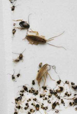 En fälla, eller indikator som den kallas på fackspråk, ger svar på vilken typ av skadedjur som finns i en bostad. Här har ett antal kackerlackor av olika storlek fastnat.