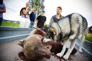 Jämthunden Honken hjälpte husse Tom Gustavsson att ställa björnen så att den kunde skjutas. Det var en liten björnhanne på två - tre år.