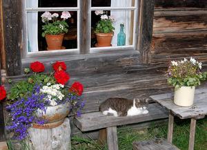 Över 10 000 personer gästar varje sommar Karl-Tövåsens fäbodar och alla stortrivs –även katten.