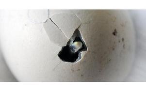 Försiktigt börjar den lilla kycklingen sitt arbete inifrån skalet. Ett litet hål har bildats, så pass att man ser lite av näbben.