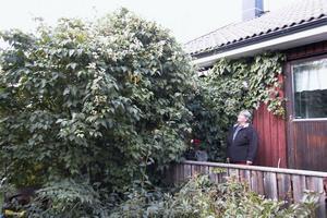 Lilian Persson tittar förundrat på den förr så beskedliga klematisen. Tidigare var den blygsam i sin växt men i år fick den växtvärk och når till taket.
