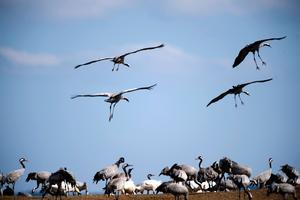 En anlagd våtmark i Viby är en frizon för fåglar, men samtidigt drabbas odlare. Per Carlsson fick en hektar maltkorn förstörd av fåglarnas framfart.