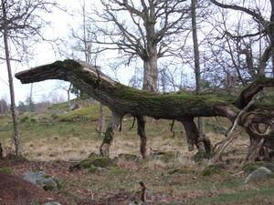 Se upp för urtidsdjur när Ni vandrar i skogarna runt Strömsholm.