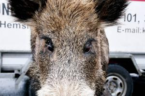 Vildsvin ser vi inte så mycket av i Jämtland. Men skulle man krocka med ett kan stora skador uppstå på bilen.