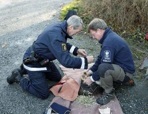 Andrew Sörensson och Christer Edholm hjälps åt med att ringmärka örnen.