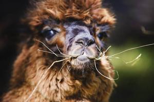 MUMS. Alpackorna är lättskötta djur som kräver hö, vatten, tillsyn och lite omtanke. De har ett särskilt läte, ett hummande, som kan beskrivas som en blandning av fårens bräkande och hästars gnäggande, fast mycket, mycket lägre.