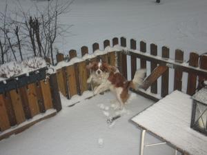 Det här är min Cavalier King Charles, 4,5 år gammal, som visar hur kul han tycker det är med snö, genom att ta en svängom på uteplatsen.