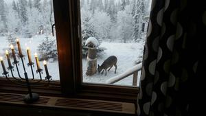 Läsaren Karin Jönsson har fotat en fyrbent besökare vid fågelbordet.