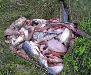 En stor balja med fiskrens har tömts intill Gammelstillavägen och bland renset finns även hela fiskar.