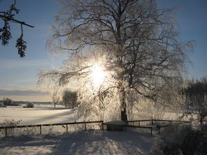 Kallt och grått...och så en morgon, strålande sol. Den lyste genom grenarna på våran stora björk som var alldeles vit av rimfrost.