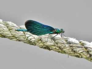 Har inte mycket erfarenhet av att fotografera insekter, men här har jag i alla fall lyckats fånga en blå flickslända på bild.