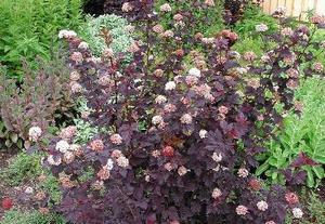 Djävulsbuske. Helt rätt i färg är den rödbladiga smällspirean med sina mörkröda blad och mängder av rosa/vita blommor.