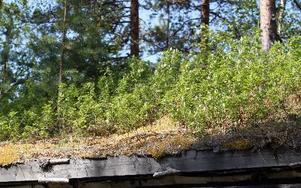 På stugans tak växer bland annat rikligt med hallonbuskar.