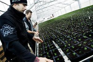 På Erlandssons odlar man 230 000 penséer på en säsong.