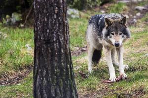 Svenska Rovdjursföreningen kräver att myndigheterna ska sluta vilseleda om vargens bevarandestatus