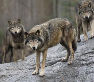 Vargen är den största av de 35 vilda arter av hunddjur som finns och dessutom stamfar till hunden. En fullvuxen varg väger 30 till 50 kilo.