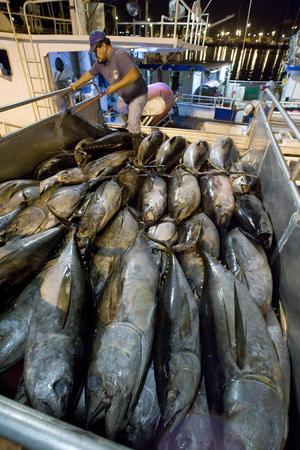 Överexploateringen av fiskbestånden på jorden har lett till att många fiskarter hamnat på den internationella rödlistan. På bilden syns storögda tonfiskar som fångats utanför Hawaii. Arten är klassad som sårbar.