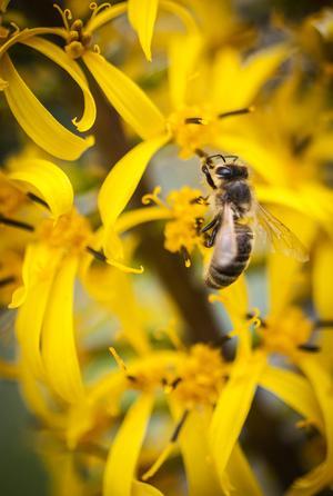 I ett bisamhälle finns en rad olika yrken. Det finns bland annat drönare, ambin och så fältbin. Det är de som flyger från blomma till blomma för att samla nektar och pollen.