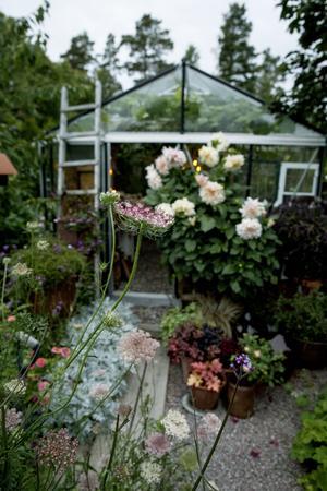 Blomstermorot är vacker i både friland och bukett.