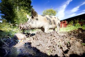 """""""Jordfräs"""". Att böka är livet för grisarna som håller till  i hagen i centrala Järbo."""
