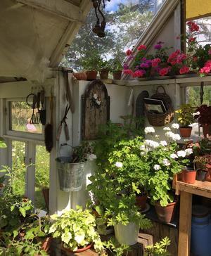 Utöver blommor är pryds växthuset av vackra gamla trädgårdsredskap.