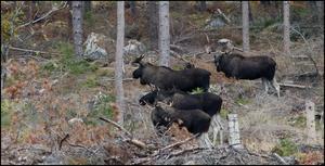 Hans Ångman fick se fyra älgtjurar som gick efter en ko.