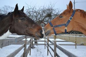 När jag var och hälsade på min kusin som jobbar med hästar så passade jag på att fota dom här turturduvorna