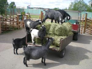När hövagnen kom på Parken Zoo, Eskilstuna, fick getterna bråttom.Det såg gott ut.