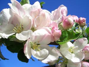 Klarblå försommarhimmel, rosavita äppelblommor och friskt gröna blad. Det blir inte mycket vackrare än så här!